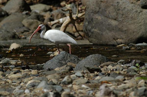 Ibis Costa Rica