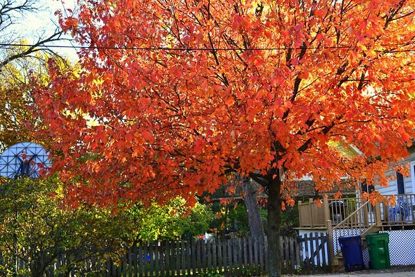 Back Yard Tree Oct 2011