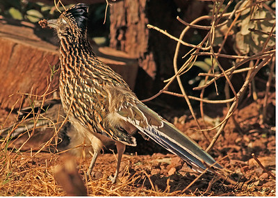 Roadrunners and Cuckoos