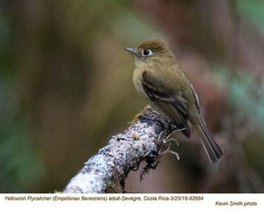 Yellowish Flycatcher A82684.jpg