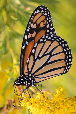 Monarch Butterflies 2017-09-18