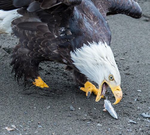 THE EAGLES OF HOMER, ALASKA