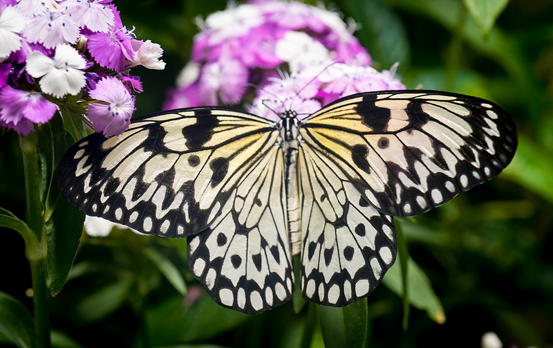 A very uncommon Common Mime Butterfly.jpg