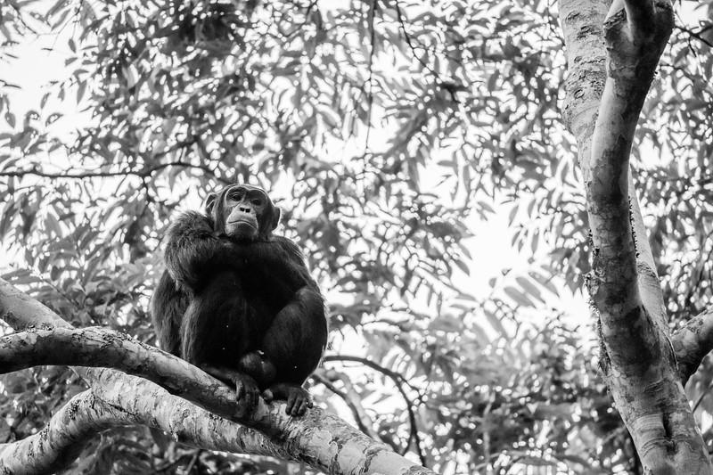 Uganda_T_Chimps-972.jpg