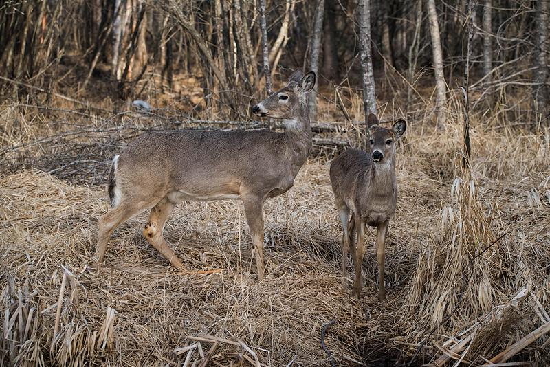 Deer reflection  April 2016 4.jpg
