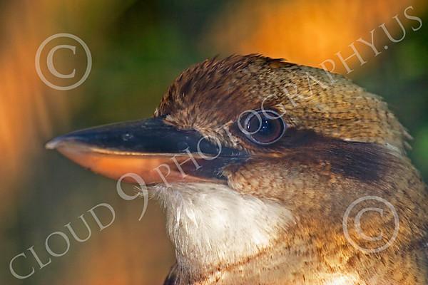 Laughing Kookaburra Wildlife Photography
