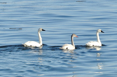 Geese, Swans and Ducks