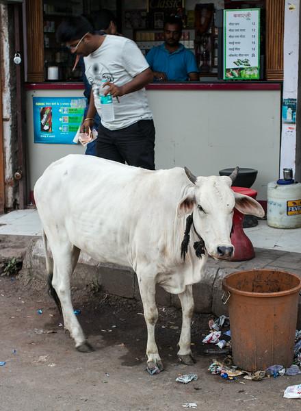 A cow (heifer) roadside in Indore.