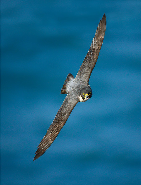 Peregrine Falcon 3.jpg