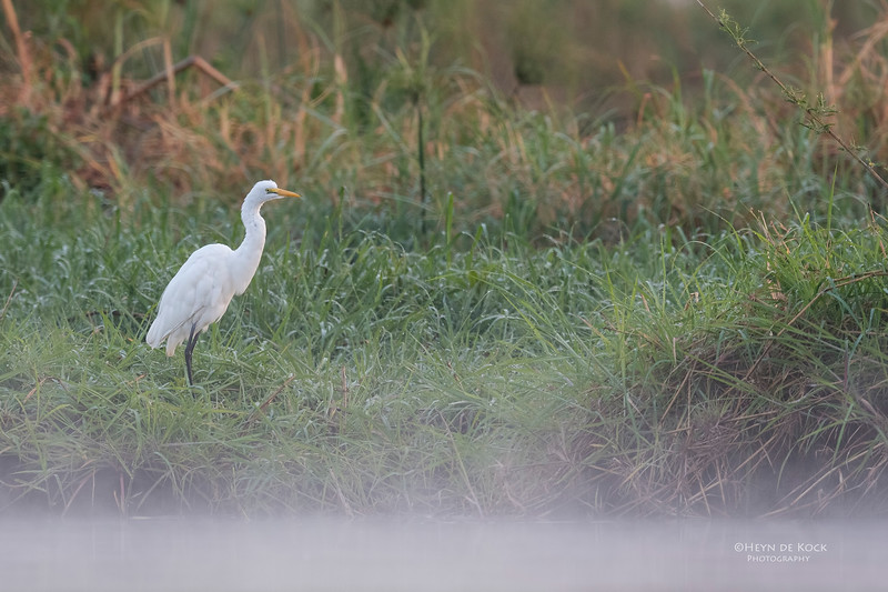 Great Egret, Chobe River, NAM, Oct 2016-1.jpg
