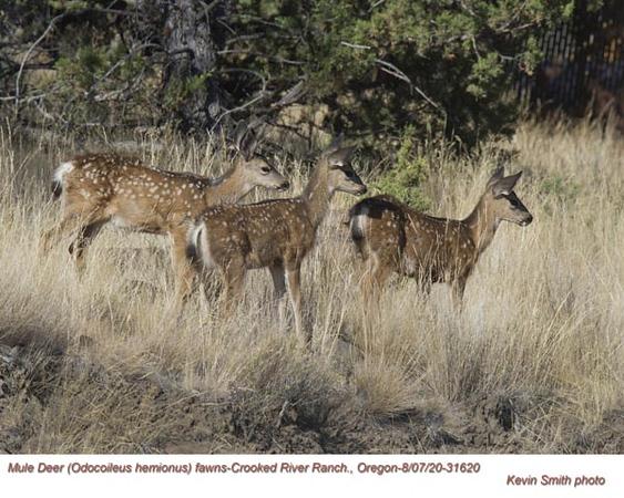 Mule Deer Fawns 31620.jpg