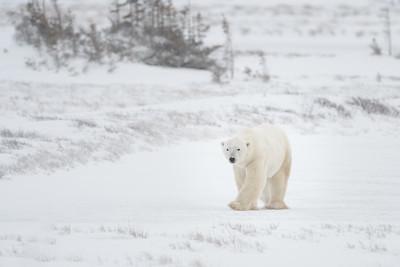 Polar Bears, Foxes and Hares of Churchill