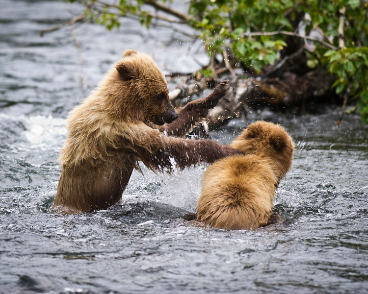 """You're Going Down!"" Brown bear cubs playing Russian River, Kenai Peninsula, Alaska © 2011"
