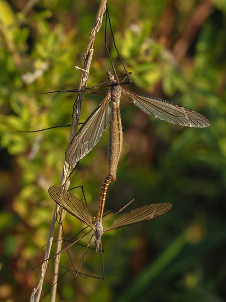 Crain Flies, Tipula oropezoides ?