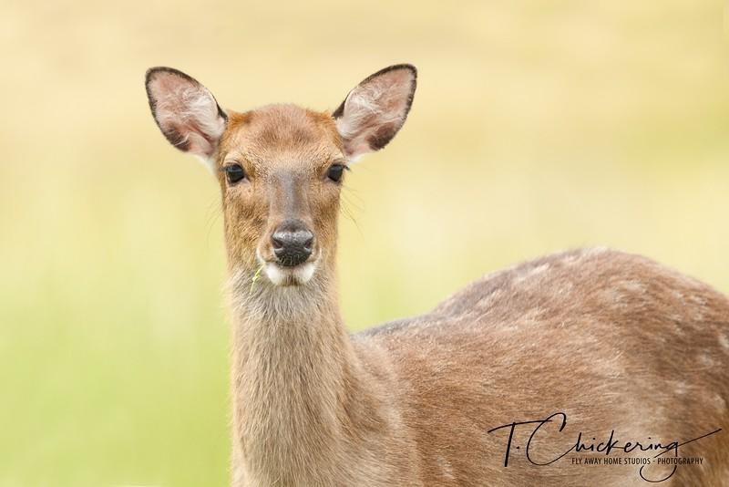 Sika Elk Three-1558299511453.jpg