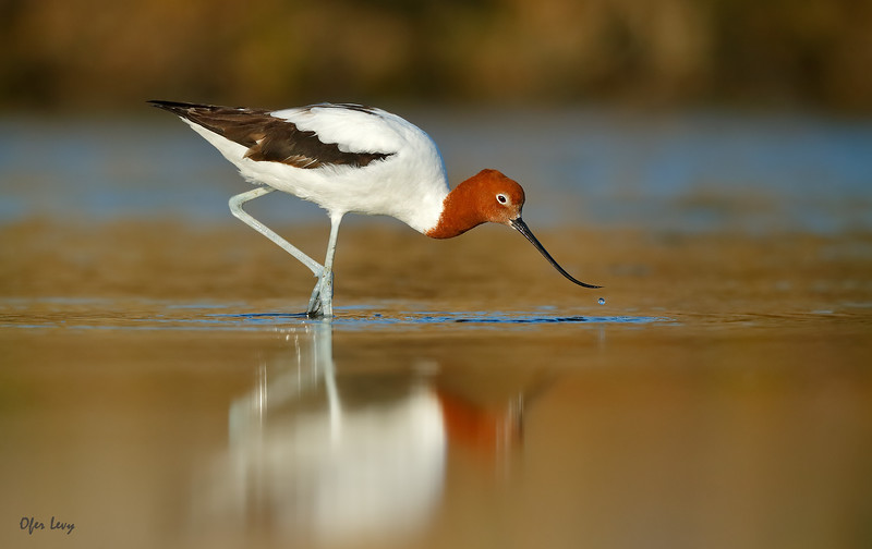 Red-necked Avocet feeding 3 MASTER.jpg