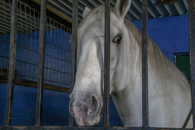Royal Lipizzaner Stallions - Flying Horses