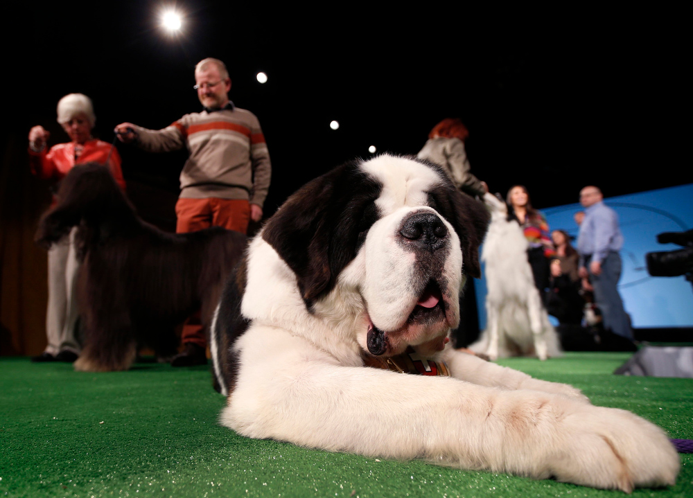 Description of . Aristocrat, a St. Bernard from Princeton, New Jersey, rests on a stage as he is introduced during a press conference ahead of the 137th Westminster Kennel Club Dog Show in New York, February 7, 2013. The 137th Westminster Kennel Club Dog Show which will feature some 2,721 dogs will be held in New York City February 11 and 12, 2013.   REUTERS/Mike Segar