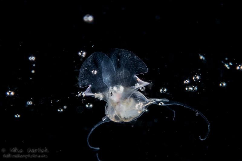 Pteropod (1 of 1).jpg