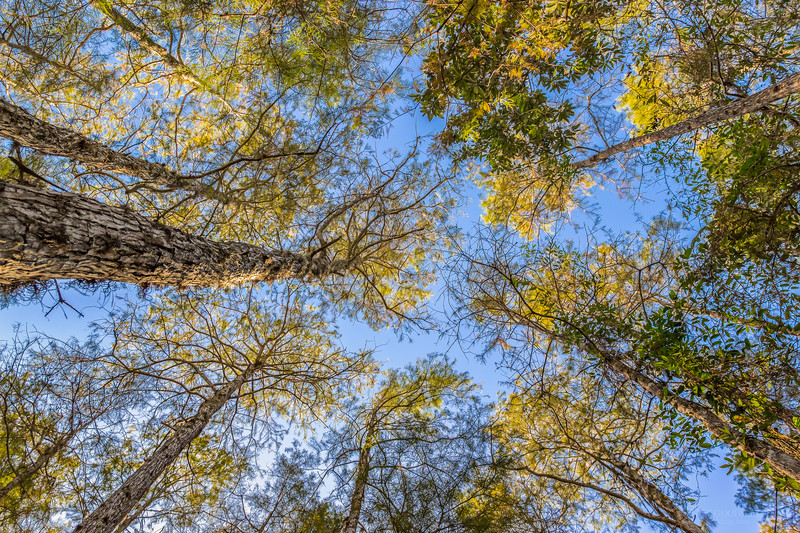 Looking up in a cypress dome swamp in the fall