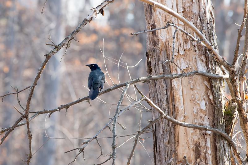Black Bird 1-8603.jpg