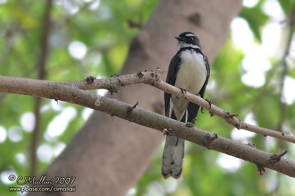 Flycatchers - Family: Muscicapidae