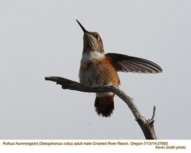 Rufous Hummingbird M27895.jpg