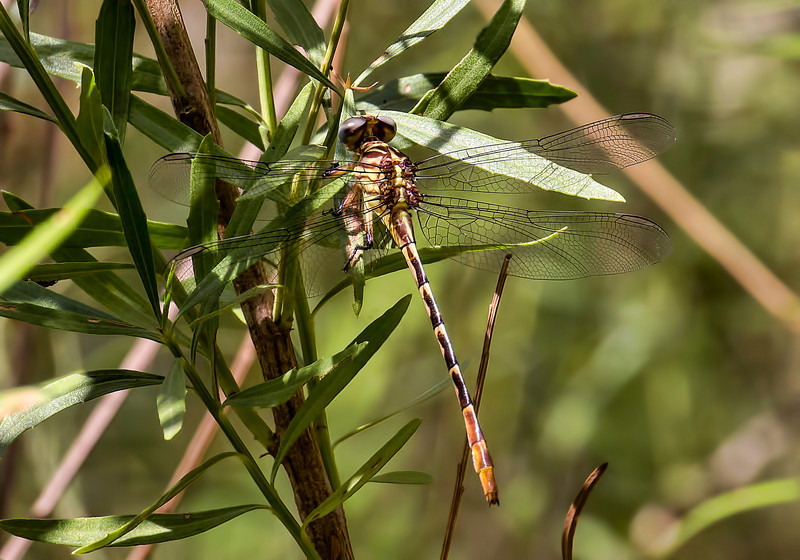 Russet-tipped Clubtail (Stylurus plagiatus), female;  National Butterfly Center