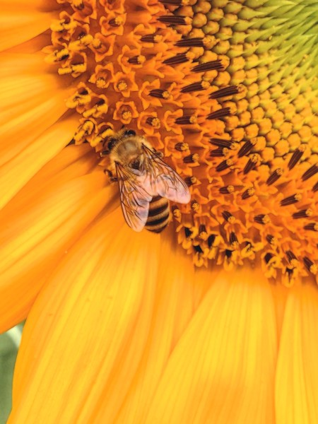 Sunflower and single Bee Topaz Glow Dream II.jpg