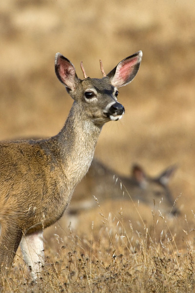Blacktailed deer, young buck, Point Reyes, 8/10