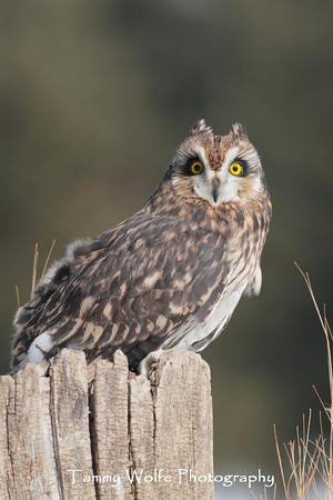 Owl, Short Eared