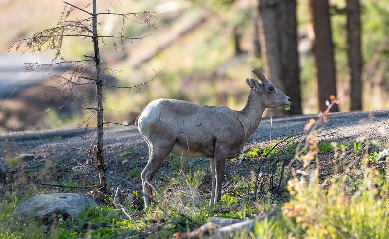 Big-Horn-in-woods-1.jpg