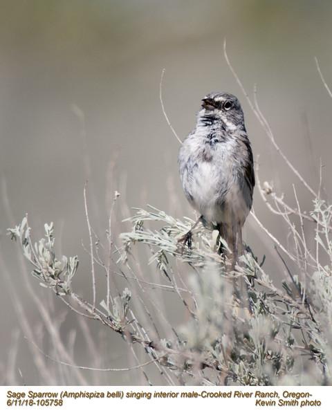 Sage Sparrow M105758.jpg