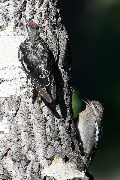 Red-naped Sapsucker with juvenile