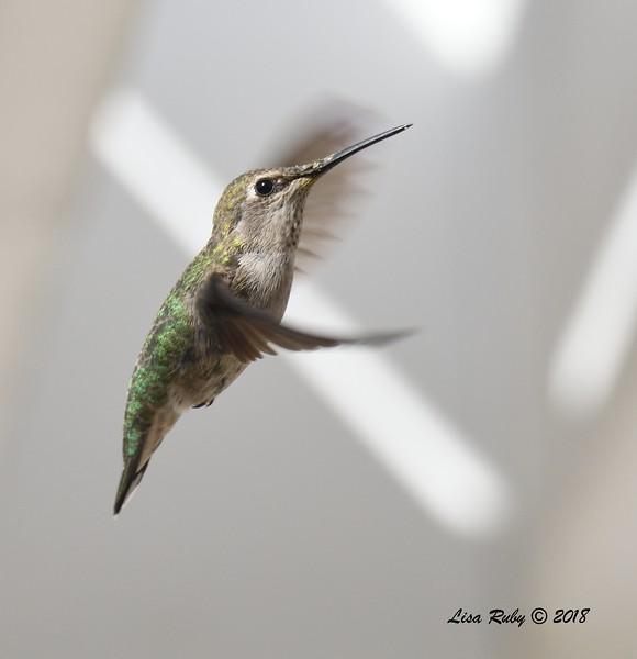 Anna's Hummingbird - 4/27/2018 - Sabre Springs backyard