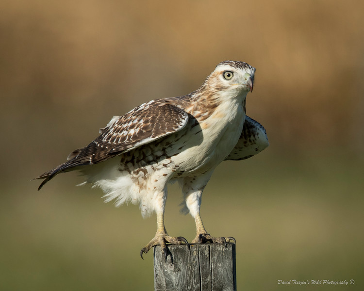 Redtail in the Wind