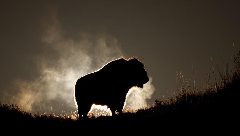 Bison Teddy Roosevelt National Park Medora ND IMG_6336.jpg
