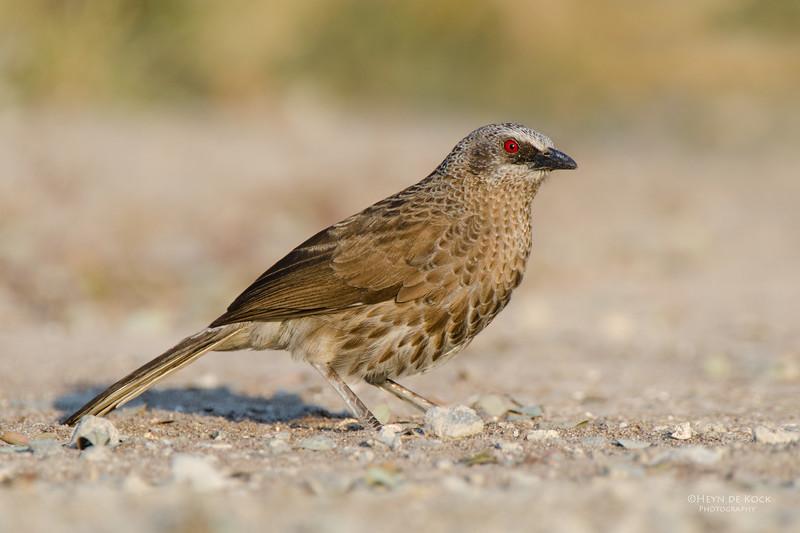 Hartlaub's Babbler, Shakawe, Botswana, Jul 2011-1-Recovered.jpg