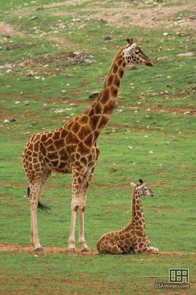 Giraffe and Baby, at the Monarto Zoo