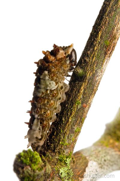 Caterpillar (Heraclides species) Piedade, SP, Brazil Tropical rainforest May 2012