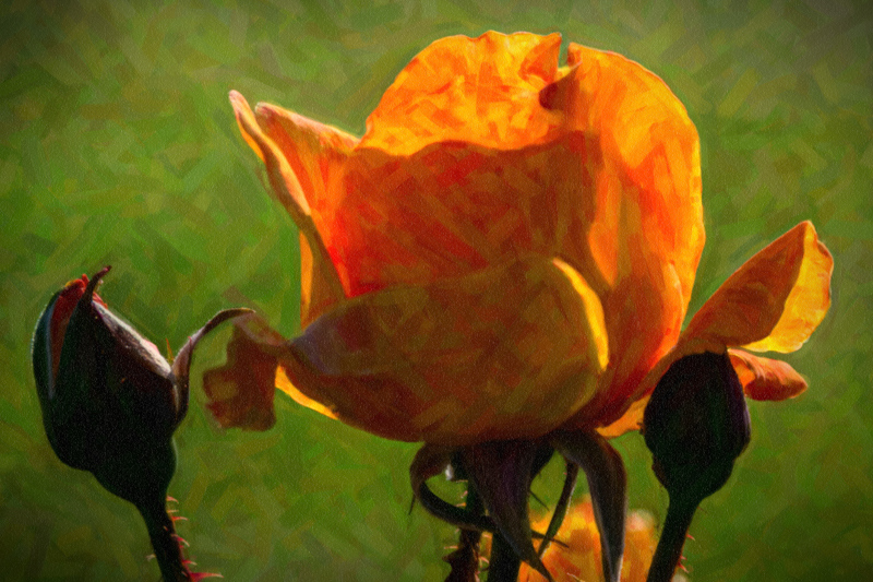 June 17 - Roses and a bud on a warm spring afternoon.jpg