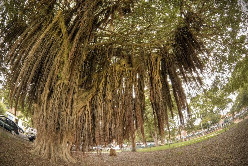 Moreton Bay Fig Tree,  Location: Mosman Oval, Sydney, NSW, Australia  Shot on 10.5mm Fisheye Nikkor, 5 exposure bracket at 1EV increments, then combined.