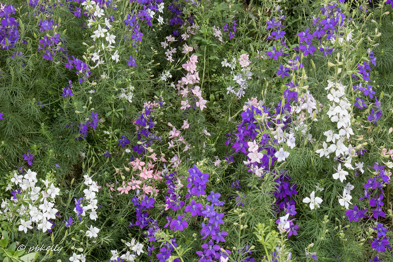 Some of the colors of Prairie Larkspur.