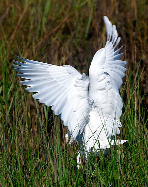 Convoluted Egret landing ...