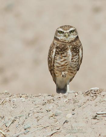 Strigidae - Owls