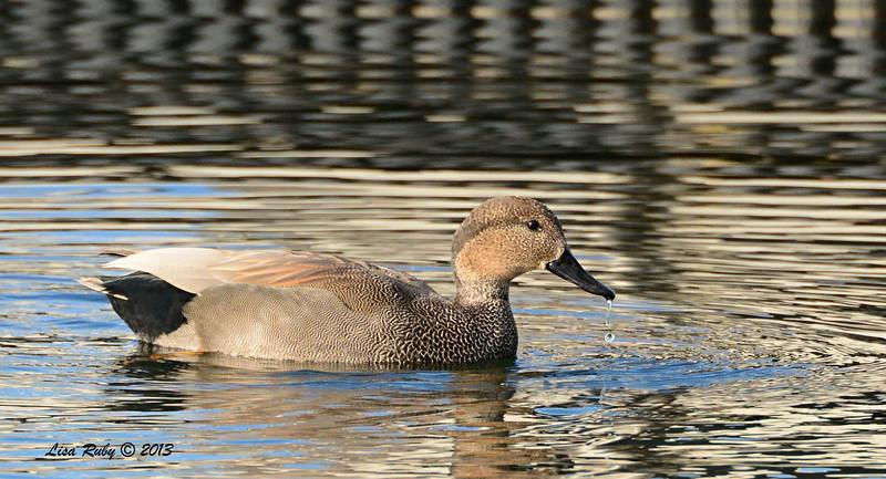 Gadwall - 12/21/13 - Lake Murray