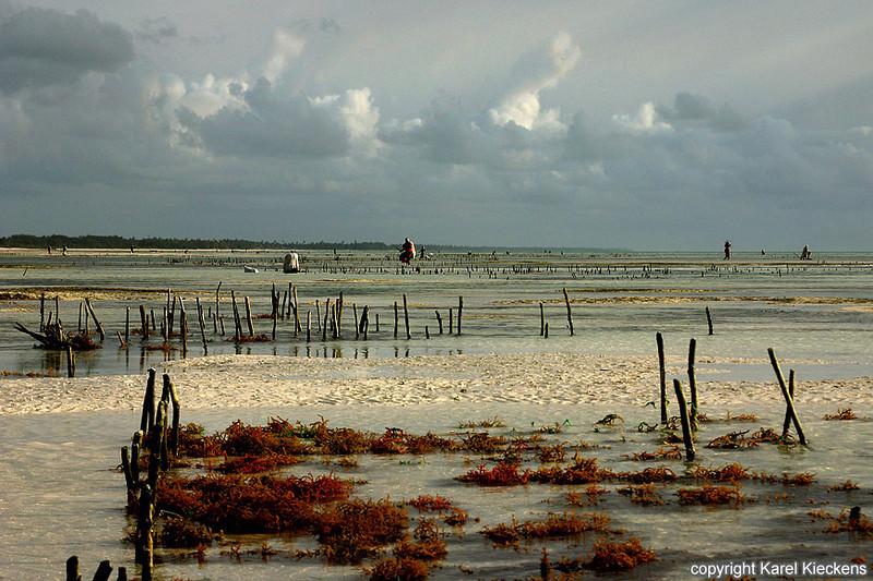 T.03_45.Oostkust Zanzibar. Zeewiercultuur.jpg
