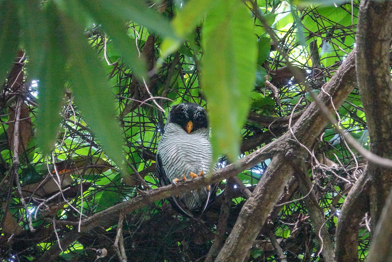 Black and White Owl, La Ceiba Honduras