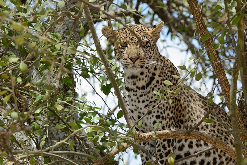 Leopard-eyes-piercing-through.jpg