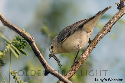 Lucy's Warbler, Tucson AZ, USA